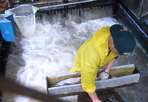 Worker standing in moving trap stream taking data.