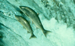 SalmonScape icon