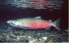 Coho Fish in water
